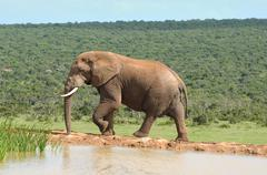 Elephant, Addo, South Africa - stock photo