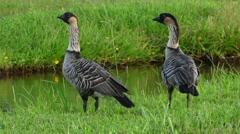 Endangered Hawaiian Geese or Nene, Hawaii Stock Footage