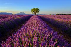 Tree in lavender field at sunset - stock photo