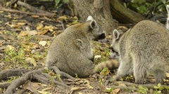 Endangered Pygmy Raccoons, Cozumel, Mexico Stock Footage