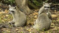 Endangered Pygmy Raccoons (Procyon pygmaeus) Stock Footage