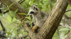 Endangered Pygmy Raccoon, Cozumel Stock Footage