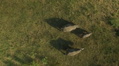 Top Down Aerial of White Rhino family Running though Private Game Reserve Stock Footage