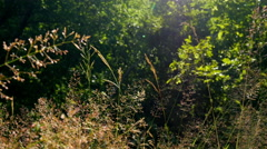 Grass with the sun shining close-up in a forest, the evening at sunset, sunrise Stock Footage