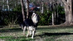 Dogs frisbee slo Mo  Stock Footage