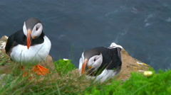 Atlantic Puffins cleaning themselves  on the rock Stock Footage
