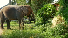 Asian elephant pasturing at village, Krabi province, Thailand Stock Footage