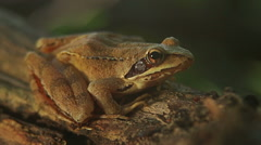 Closeup macro shot of Agile frog sitting on the forest stump, Rana dalmatina Stock Footage