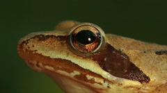 Closeup macro shot of Agile frog sitting on the forest stump, Rana dalmatina - stock footage