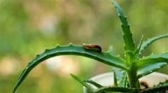 Little explorer Slug crawls on a leaf of aloe Stock Footage