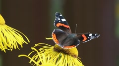 Butterfly Red Admiral (Vanessa atalanta) Stock Footage
