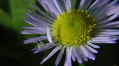 Flower spider on chamomile Stock Footage