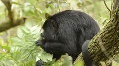 Guatemalan Black Howler Monkey, feeding, Belize Stock Footage