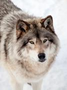 Gray Wolf in the Snow Looking up at the Camera Stock Photos