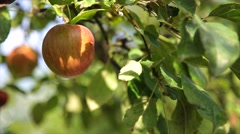 Organic red apple on branch, fruit on orchard ready for picking Stock Footage