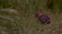Wild Rabbit Looking Around (Slide) Stock Footage
