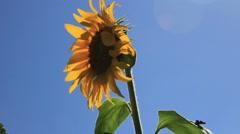 Sunflower head at sky Stock Footage