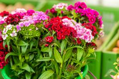 Beautiful carnation flowers at an european market Stock Photos