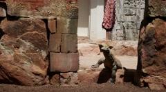 Komodo dragon 4k. Varan Komodo. Stock Footage