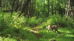 Bobcat hunting Stock Footage