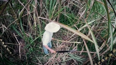 Ecuadorian peasant cutting sugar cane with machete Stock Footage