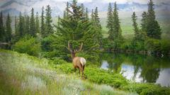 Beautiful of male Elk walking back to forest after ate Stock Photos