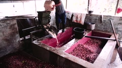Coffee worker starting the wet process of coffee berries - stock footage