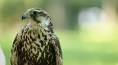Saker falcon. Falco cherrug. Bird of prey close-up outdoors, Green forest as - stock footage