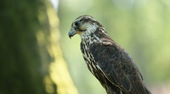 Saker falcon sitting on the branch in the forest, side view Stock Footage