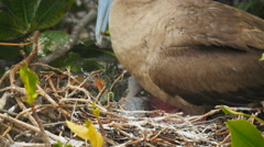 Close up of a red-footed booby chick on a nest in the galalagos islands, ecuador Stock Footage