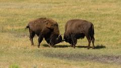 Wild Animal Buffalo Bull Males Fightning for Territory - stock photo