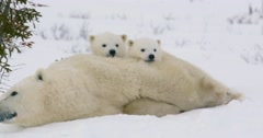 Wide shot of a Polar Bear sow and two cubs resting. Both cubs are laying on the Stock Footage