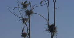 Natural habitat of the Canadian Blue Heron - Nests in Marshy Wetland in Stock Footage