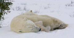 Wide shot of a Polar Bear sow and two cubs resting. One cub's back feet stick Stock Footage
