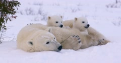 Wide shot of a Polar Bear sow and two cubs resting. All three raise their heads Stock Footage