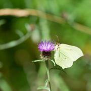 Common brimstone on purple thistle Stock Photos