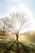 Bare Branched Spring Oak Tree Glowing in Morning Fog Stock Photos