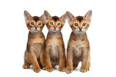 Three Little Abyssinian Kitten Sitting on Isolated White Background Stock Photos
