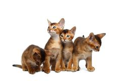 Four Cute Abyssinian Kitten Sitting on Isolated White Background Stock Photos
