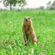 Gopher standing on meadow Stock Photos