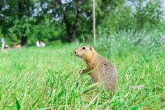 Gopher standing profile and starring on meadow, some people on t Stock Photos