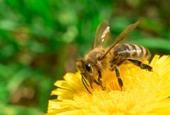 Bee collecting honey on the dandelion - stock photo