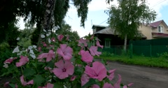 Russian village, quiet street, mallow blossoms outside the window Stock Footage