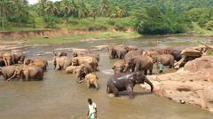 Pinnawala, Sri Lanka, october 21, 2011: Many elephants bathing in the river Stock Footage
