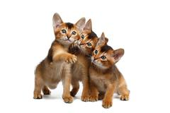 Three Cute Abyssinian Kitten Sitting on Isolated White Background Stock Photos