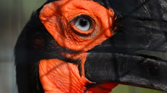 Southern ground hornbill Stock Footage