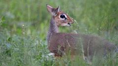 Dik dik the smallest antelope Stock Footage