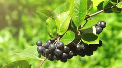 Fruitful ripe aronia berry fruit on the branch - stock footage