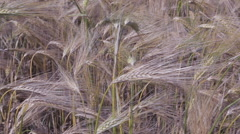 Field with harvest rye - stock footage