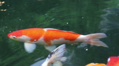 Variety ornamental Koi carp fishes swim in pond Stock Footage
